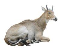 Nilgai (Boselaphustragocamelus) Arkivbilder