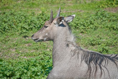 Nilgai d'antilope photographie stock