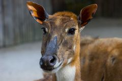 Nilgai dell'antilope o toro blu fotografia stock libera da diritti