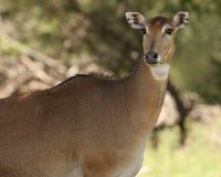 Nilgai (fêmea) Fotos de Stock
