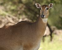 Nilgai (female) Stock Photos