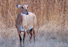 Nilgai in the Gir forest. A female nilgai (Boselaphus tragocamelus) grazing in the Gir sanctuary in Gujarat, India stock photos