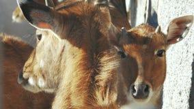 Nilgai im Zoo Boselaphus tragocamelus stock video footage