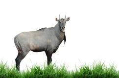 Nilgai isolated royalty free stock image