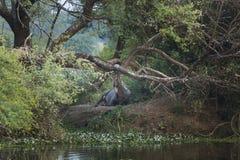 Nilgai ligt in de loop van de dag voor een vreedzame rust Het landschap was mooi enkel als het leven in een sprookje Keoladeo, In royalty-vrije stock foto's