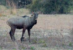 Nilgai maschio (tragocamelus del Boselaphus) Immagini Stock