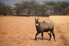 Nilgai in nature royalty free stock image