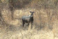 Nilgai o toro azul imagenes de archivo