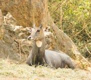 Nilgai(Boselaphus tragocamelus) Royalty Free Stock Image