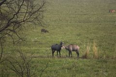 Nilgai, two male bluebulls are relaxing in an open feild, Keoladeo, India. Nilgai lie down peaceful rest day scenery was beautiful just like living india hom royalty free stock photo