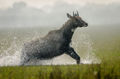 Running Nilgai and water splash (aka blue bull) Stock Photos