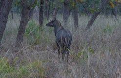 Nilgaikoe, Blauwe Stier Stock Fotografie