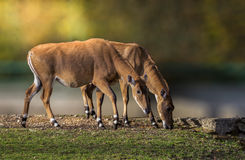 Nilgau Antelope couple Stock Photos