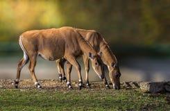 Nilgau Antelope couple Stock Photos