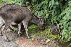 Nilgiri高地山羊和小牛 免版税库存照片
