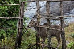 Nilgiri高地山羊在高知 免版税库存图片
