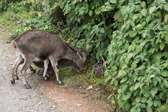 Nilgiri高地山羊夫妇  库存图片