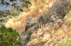 Nilgiri Ibex, India Stock Images