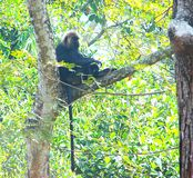 Nilgiri Langur - Trachypithecus Johnii Sitting on a Tree Branch with Hanging Tail Stock Photo