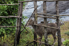 Nilgiri stenbock i Kochi Royaltyfria Bilder