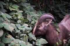 Nilgiri Tahr在国家公园 库存图片