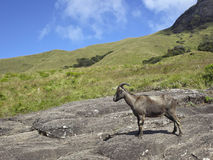 Nilgiri tahr Royalty Free Stock Photo