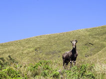 Nilgiri tahr Royalty Free Stock Images