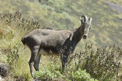 Nilgiri Tahr Royalty Free Stock Photography
