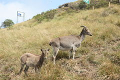Nilgiri tahr. Hemitragus hylocrius this is the scientific name of nilgiri tahr Stock Image