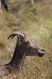 Nilgiri tahr Stock Photo