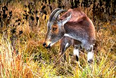 Nilgiri Tahr (den Nilgiritragus hylocriusen) Fotografering för Bildbyråer