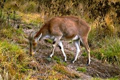 Nilgiri Tahr (den Nilgiritragus hylocriusen) Arkivfoto