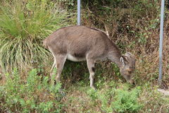 Nilgiri Tahr grazing Royalty Free Stock Photos