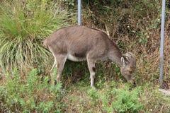 Nilgiri Tahr grazing Royalty Free Stock Photos