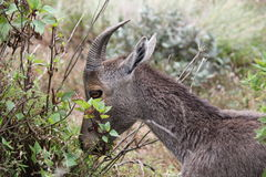 Nilgiri Tahr grazing Royalty Free Stock Images
