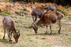 Nilgiri Tahr (hylocrius de Nilgiritragus) photographie stock