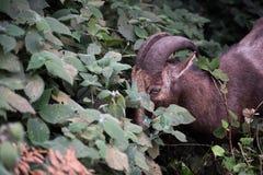 Nilgiri Tahr i Eravikulam parkerar Arkivbilder