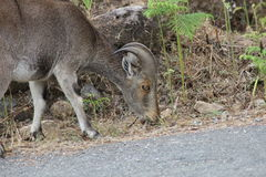 Nilgiri tahr, indian ibex Royalty Free Stock Photography