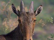 A Nilgiri Tahr, looking towards the camera royalty free stock photo
