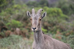 Nilgiri Tahr Stock Photography
