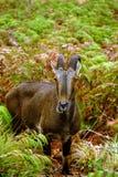 Nilgiri Tahr (Nilgiritragus hylocrius) Obraz Royalty Free