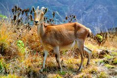 Nilgiri Tahr (Nilgiritragus hylocrius) royalty free stock photo