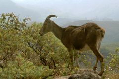 Nilgiri Tahr on Rock Top Stock Image