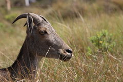 Nilgiri tahr sambar deer. Hemitragus hylocrius this is the scientific name of nilgiri tahr Stock Image
