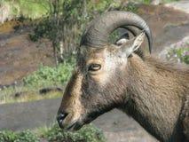 Nilgiri Tahr. State Animal of Tamilnadu.Endangered species found in Eravikulam National Park Stock Photography