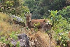 Nilgiri thahr stock photo