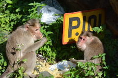 Nilgri山猿 免版税库存图片