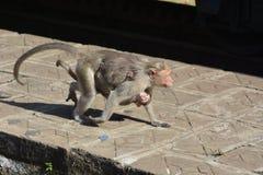 Nilgri góry małpy Obrazy Royalty Free