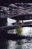 Niloticus Crocodylus κροκοδείλων του Νείλου στο νερό, λεπτομέρεια κινηματογραφήσεων σε πρώτο πλάνο των κροκοδείλων Οι κροκόδειλοι Στοκ φωτογραφία με δικαίωμα ελεύθερης χρήσης