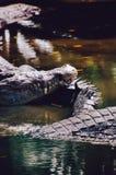 Niloticus Crocodylus κροκοδείλων του Νείλου στο νερό, λεπτομέρεια κινηματογραφήσεων σε πρώτο πλάνο των κροκοδείλων Οι κροκόδειλοι Στοκ Φωτογραφίες